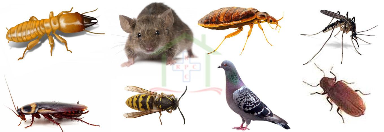 شركة مكافحة حشرات في البرشا